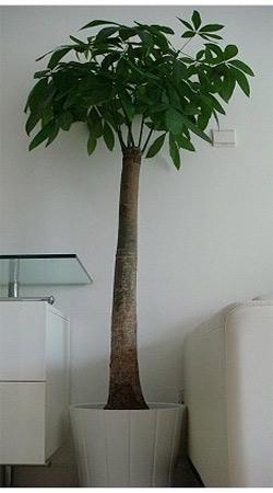 发财树3 - 花篮制作 - 经典花坊
