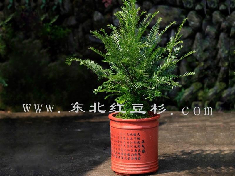 东北红豆杉景观树,东北红豆杉绿化苗,东北红豆杉盆景.
